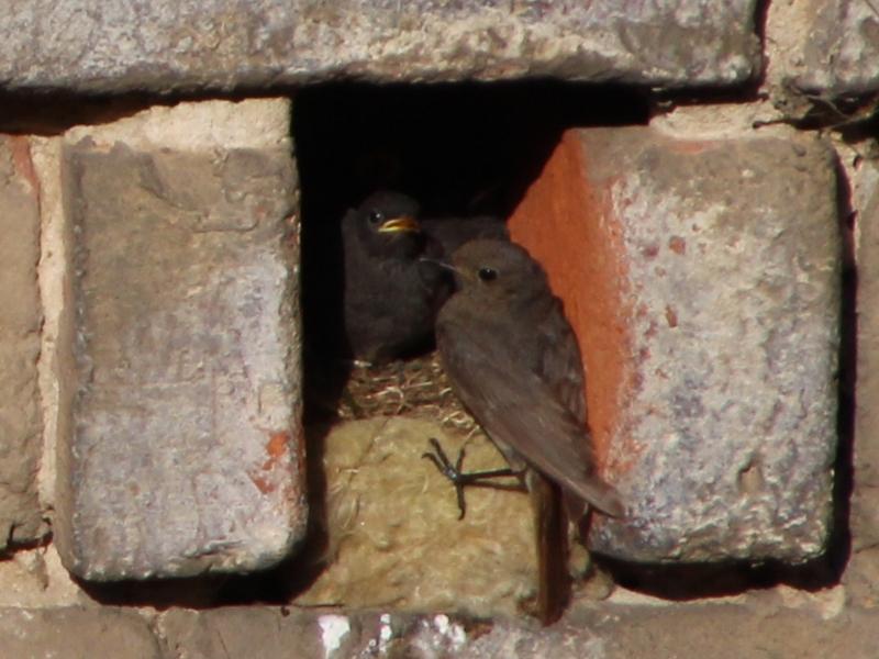 Rotschwanz am Nest