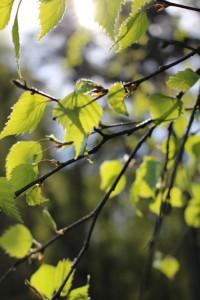 Junge Birkenblätter im Frühling