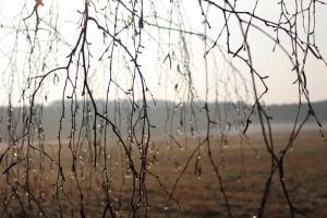Birkenknospen und Wassertropfen