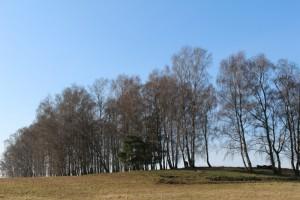 Birkenhain im Frühjahr